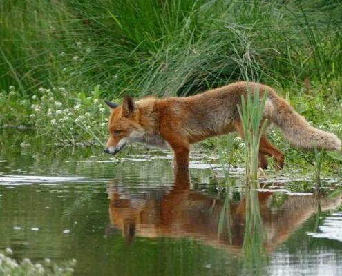 fox inside whiteshell provincial park